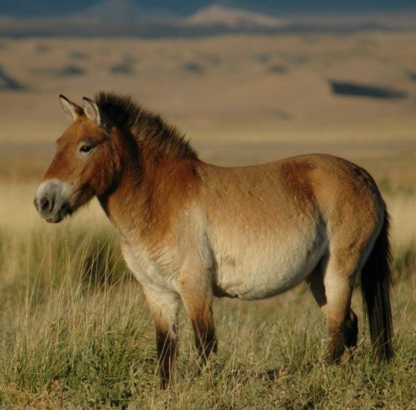 Przewalskis_horse_02 (1)